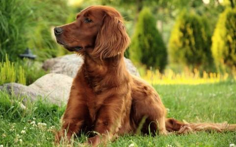 chien-setter-irlandais