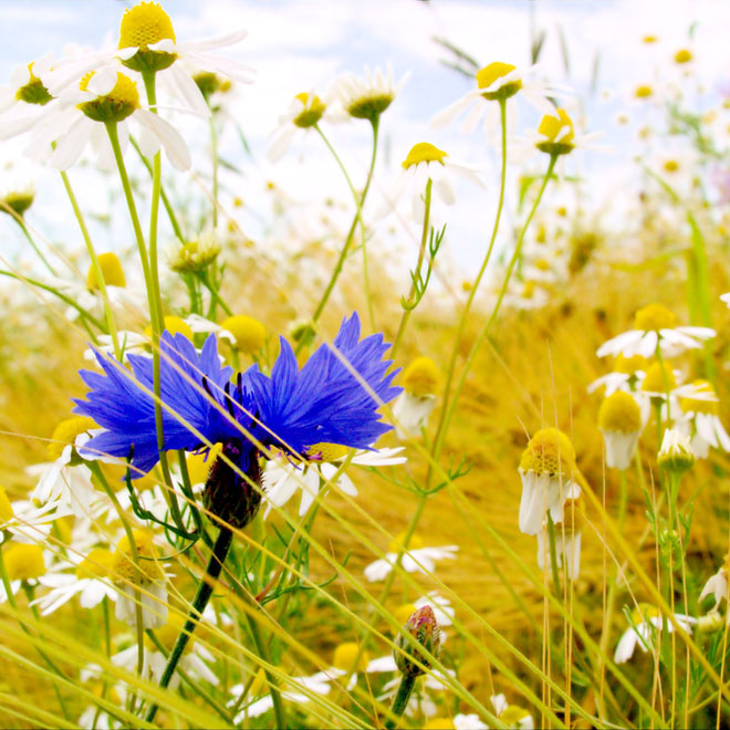 Plante-medicinale-din-Romania