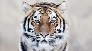 61_tiger