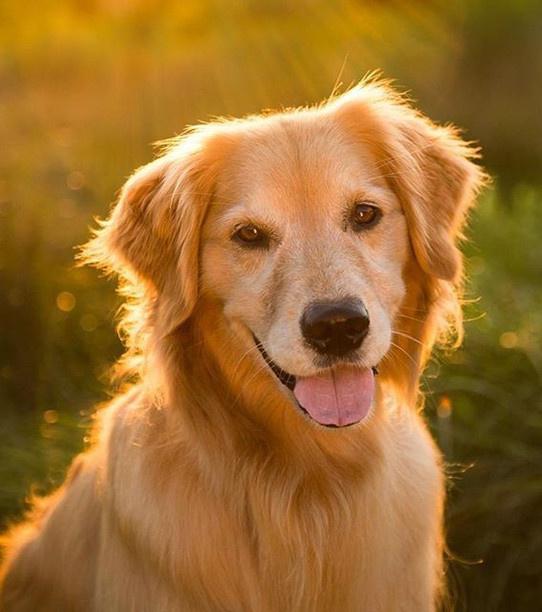 l-un-des-chiens-les-plus-intelligents-paola-est-une-golder-retriever_9d28a0436ce9bb595b621c4525b900bb8e4fb868