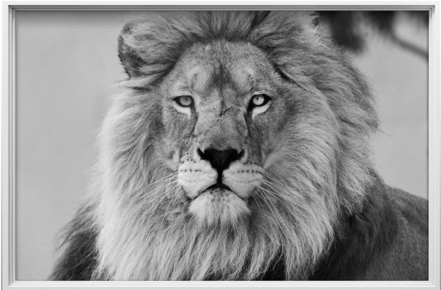 sticker-cadre-photo-le-roi-de-la-jungle-2-ambiance-sticker-col-ROS-A521